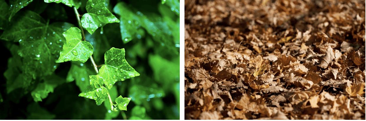 左:水に濡れて光沢感のある葉  右:光沢感のない枯れ葉